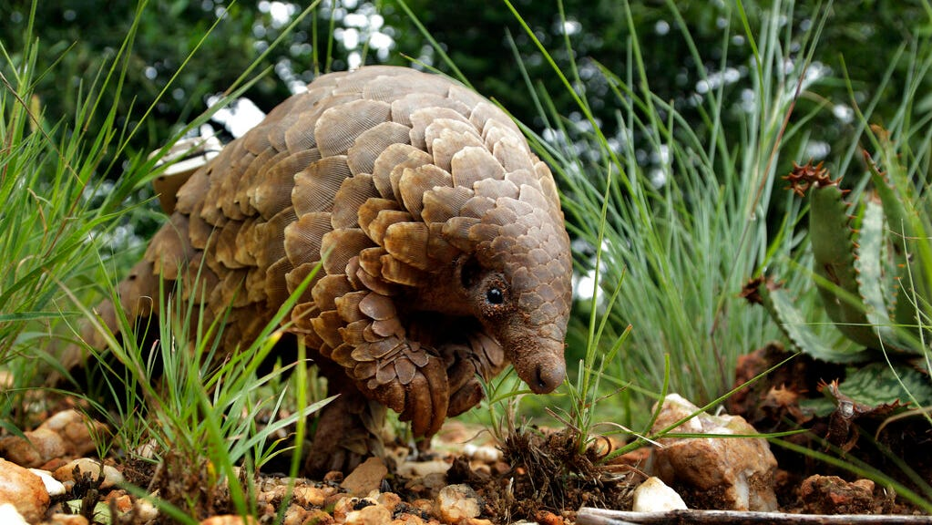 Pangolin, animal linked to coronavirus, removed from China's list of traditional medicines